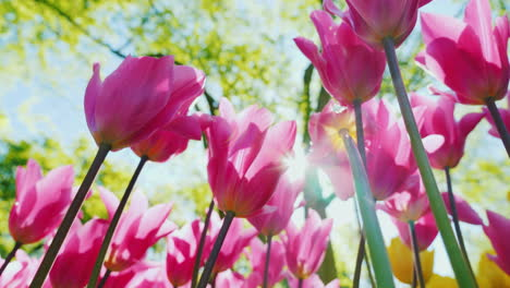 Pink-Tulips-in-the-Sun