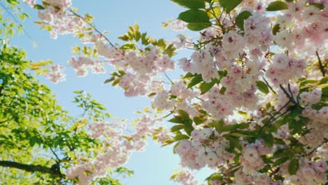 Sun-Shining-Through-Branches-Of-Cherry-Blossom