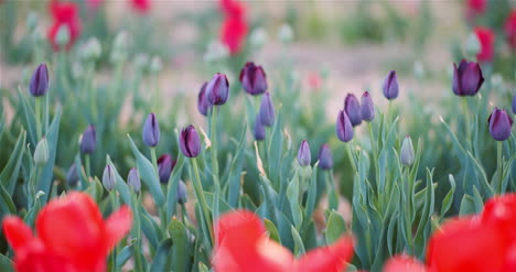 Blooming-Tulips-On-Agriculture-Field-6