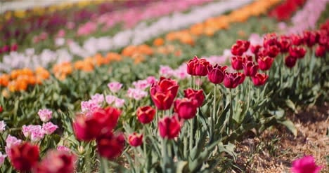 Blooming-Tulips-On-Flowers-Plantation-Farm