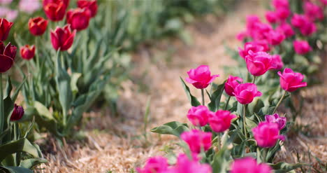 Blooming-Tulips-On-Flowers-Plantation-Farm-1
