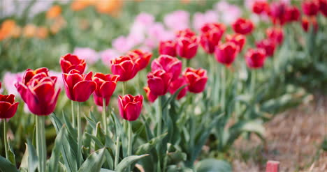 Blooming-Tulips-On-Flowers-Plantation-Farm-2