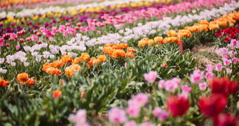 Blooming-Tulips-On-Flowers-Plantation-Farm-3