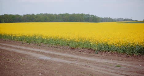 Agriculture-Canola-Rapeseed-Field-Blooming-Wide-Shot-Of-Fresh-Beautiful-Rapeseed-Flowers-