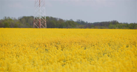 Agriculture-Canola-Rapeseed-Field-Blooming-Wide-Shot-Of-Fresh-Beautiful-Rapeseed-Flowers-1