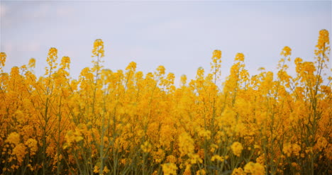 Agriculture-Canola-Rapeseed-Field-Blooming-Wide-Shot-Of-Fresh-Beautiful-Rapeseed-Flowers-24