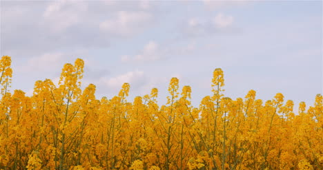 Agriculture-Canola-Rapeseed-Field-Blooming-Wide-Shot-Of-Fresh-Beautiful-Rapeseed-Flowers-25