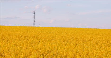 Panning-Shot-Of-Blooming-Rapeseed-Field-Agriculture