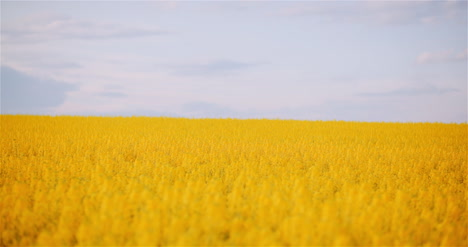 Agriculture-Canola-Rapeseed-Field-Blooming-Wide-Shot-Of-Fresh-Beautiful-Rapeseed-Flowers-29