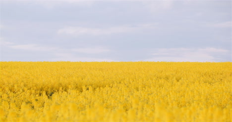 Panning-Shot-Of-Blooming-Rapeseed-Field-Agriculture-1