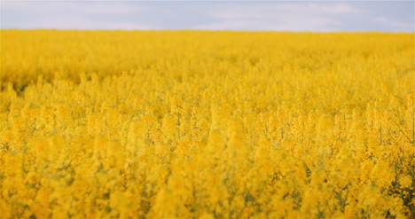 Agriculture-Canola-Rapeseed-Field-Blooming-Wide-Shot-Of-Fresh-Beautiful-Rapeseed-Flowers-3