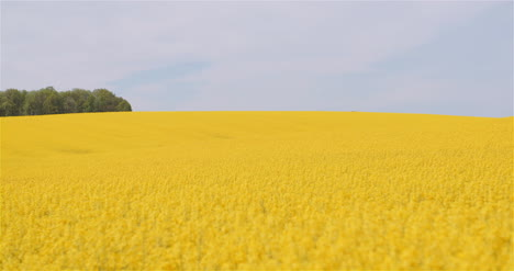 Agriculture-Canola-Rapeseed-Field-Blooming-Wide-Shot-Of-Fresh-Beautiful-Rapeseed-Flowers-5