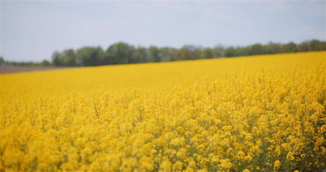 Agriculture-Canola-Rapeseed-Field-Blooming-Wide-Shot-Of-Fresh-Beautiful-Rapeseed-Flowers-7