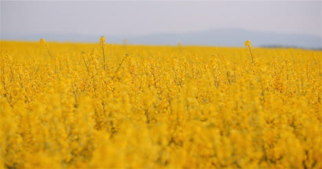 Agriculture-Canola-Rapeseed-Field-Blooming-Wide-Shot-Of-Fresh-Beautiful-Rapeseed-Flowers-14