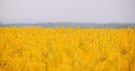 Agriculture-Canola-Rapeseed-Field-Blooming-Wide-Shot-Of-Fresh-Beautiful-Rapeseed-Flowers-16