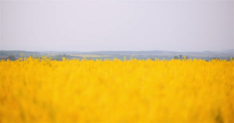 Agriculture-Canola-Rapeseed-Field-Blooming-Wide-Shot-Of-Fresh-Beautiful-Rapeseed-Flowers-18