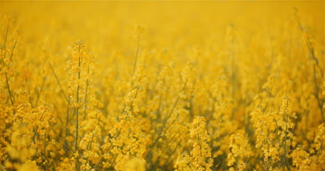 Agriculture-Canola-Rapeseed-Field-Blooming-Wide-Shot-Of-Fresh-Beautiful-Rapeseed-Flowers-19