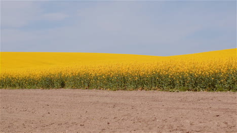 Agriculture-Canola-Rapeseed-Field-Blooming-Wide-Shot-Of-Fresh-Beautiful-Rapeseed-Flowers-22