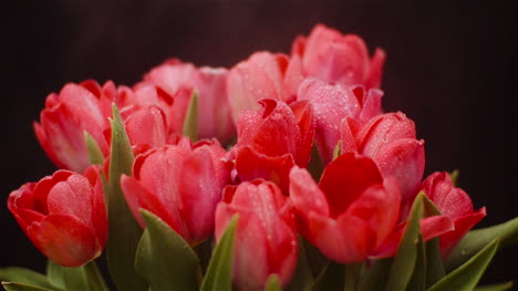 Dew-Drops-On-Fresh-Tulips-On-Black-Background