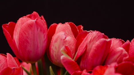 Dew-Drops-On-Fresh-Tulips-On-Black-Background-2