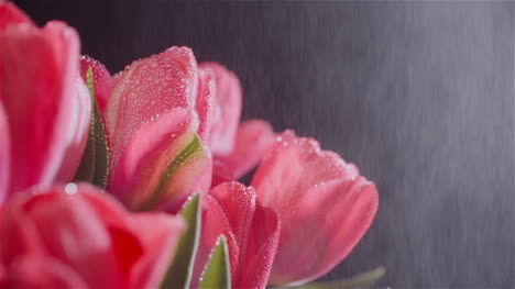 Dew-Drops-On-Fresh-Tulips-On-Black-Background-6