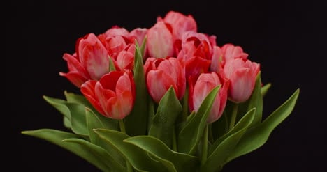 Fresh-Flowers-Tulips-On-Black-Background-9