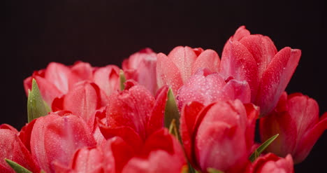 Dew-Drops-On-Fresh-Tulips-On-Black-Background-8