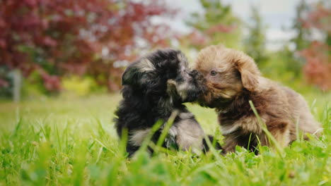 Two-Puppies-Playing