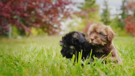 Two-Havanese-Puppies