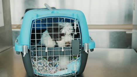 Agitated-Puppy-in-Pet-Carrier-in-Airport
