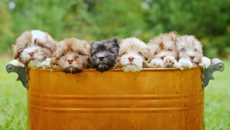 Cute-Puppies-In-A-Copper-Bucket