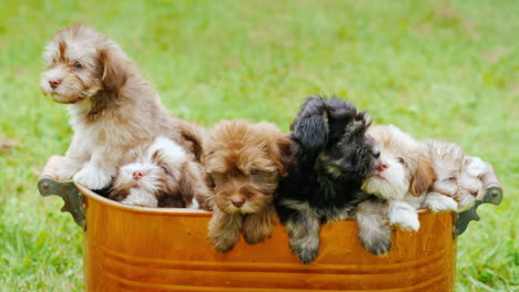 Small-Puppies-In-A-Copper-Bucket