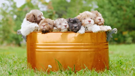 Havanese-Puppies-In-A-Copper-Bucket