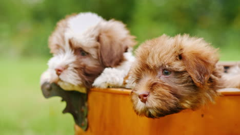 Puppies-in-Copper-Bucket