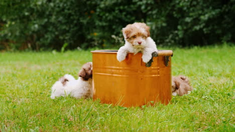 Fluffy-Puppies-Play-Near-A-Copper-Bucket