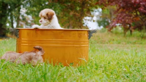 Brood-Funny-Puppies-Playing-On-A-Green-Lawn