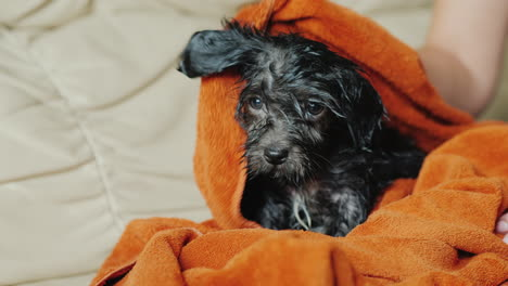 Towel-Drying-Black-Puppy