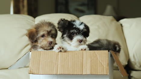 Three-Puppies-in-a-Box