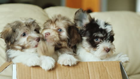 Havanese-Puppies-in-a-Box