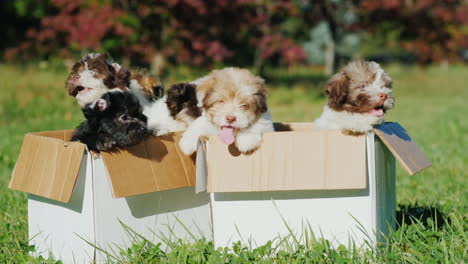 Havanese-Puppies-In-Cardboard-Boxes