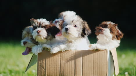 Fluffy-Puppies-in-Cardboard-Box