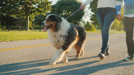 Australian-Shepherd-Dog-on-a-Leash