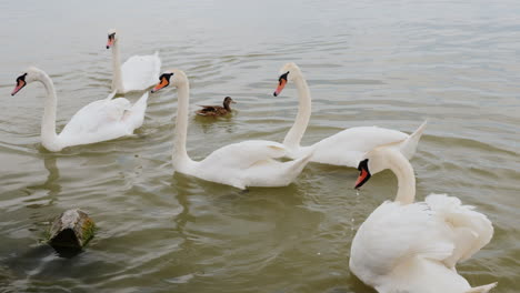 Swans-On-The-A-Lake