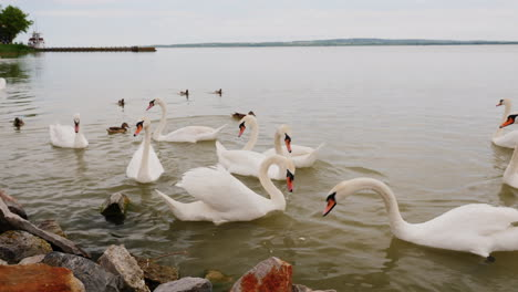 Swans-Being-Fed-on-a-Lake