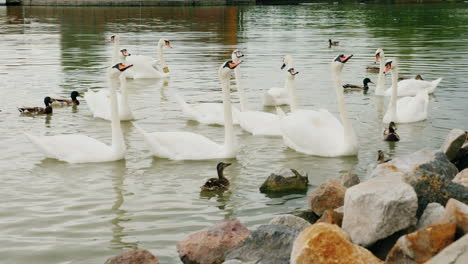 Flock-Of-Swans-Eating-Bread