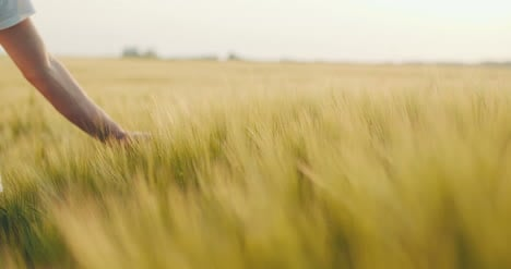Close-Up-Of-Man-S-Hand-Running-Through-Wheat-Field-Dolly-Shot-4K