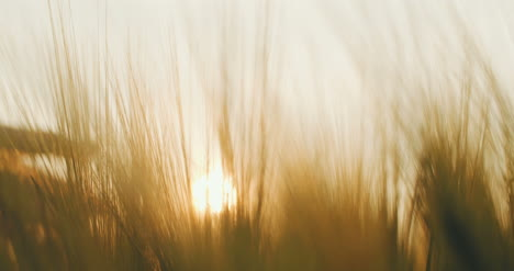 Hand-Touching-Wheat-At-Sunset-
