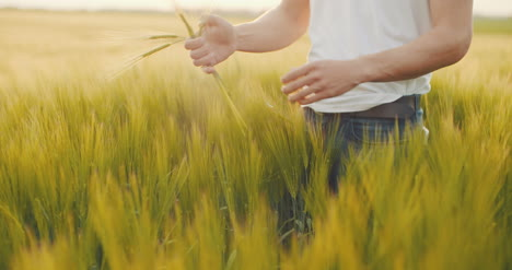 Agriculture-Farmer-Checking-Wheat-Quality-Before-Harvesting-