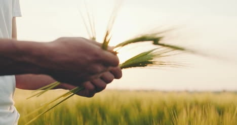 Agriculture-Man-S-Hand-Touching-Wheat-