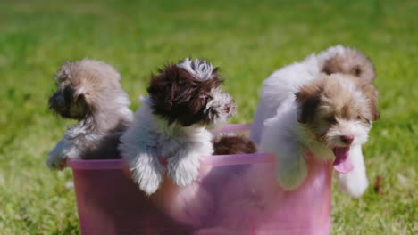 Puppies-in-a-Plastic-Tub